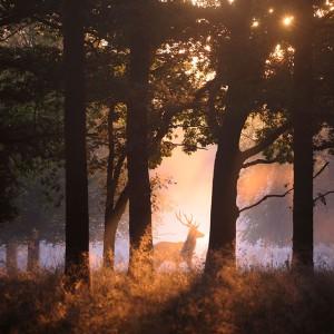 Naturfoto-Schilling-Junger-Rothirsch-zieht-durch-Sonnenfleck-JPEGU